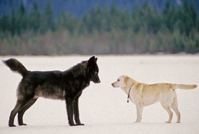 cane e lupo