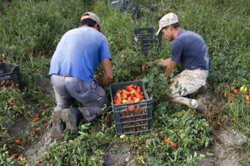 Fango e pomodori  in Puglia : l'inferno per 400 bambini braccianti stagionali
