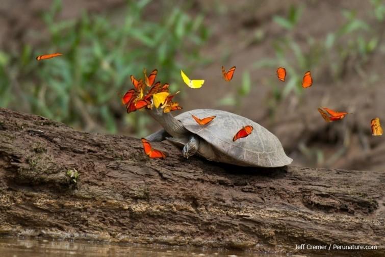 Farfalle e api dell' Amazzonia che bevono lacrime di tartaruga per vivere 2