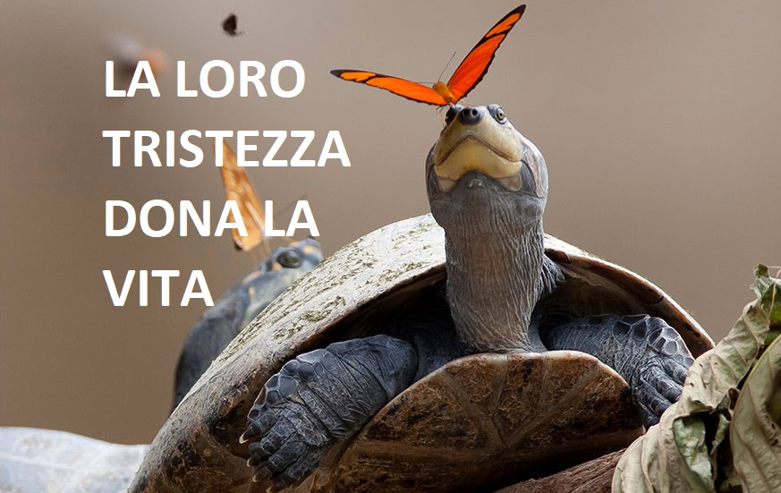 Farfalle e api dell' Amazzonia che bevono lacrime di tartaruga per vivere