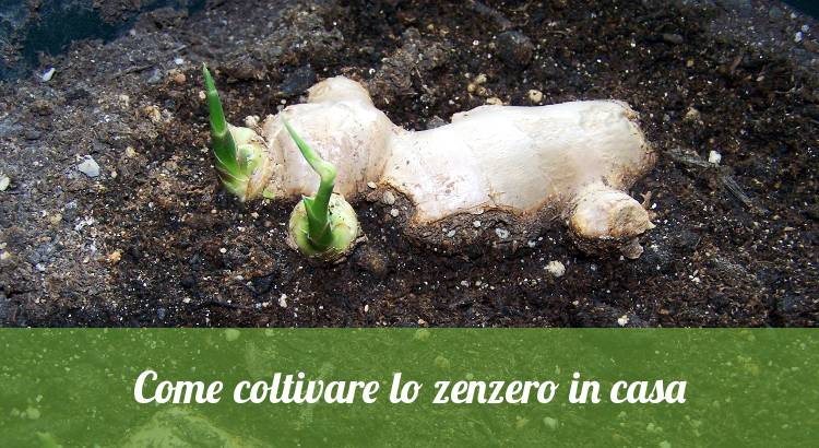 coltivare zenzero in casa