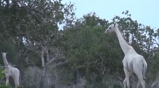 giraffe bianche in Kenya