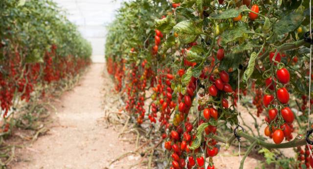pomodorini datterino siciliano africano