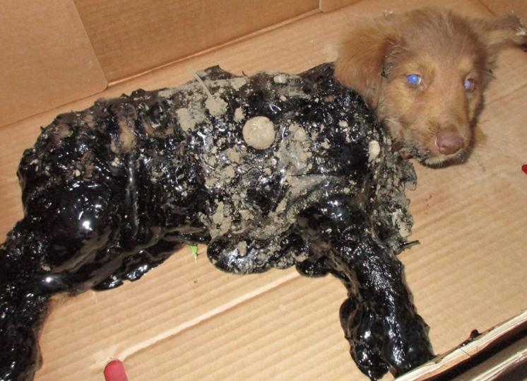 poveri Cani con catrame